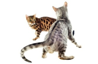 cats_fighting_l2