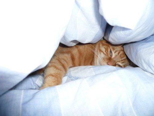 duvet-cat
