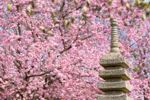 japanese-garden-blooming-cherry-tree-pink-blossom-spring-30449988
