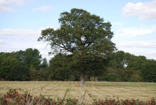 Single_tree_in_a_field_off_Lower_Haysden_Lane_-_geograph.org.uk_-_1525344