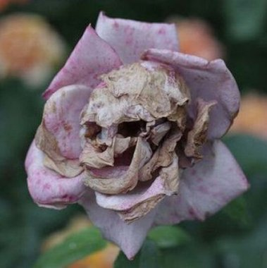 deadflower